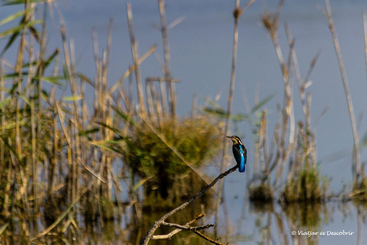 El blauet és un dels ocells més bonics del Delta de l'Ebre