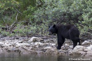 Oest de Canadà, juliol 2015 – Dia 10: Veiem molts óssos negres i els grans salts d'aigua del Wells Gray Provincial Park