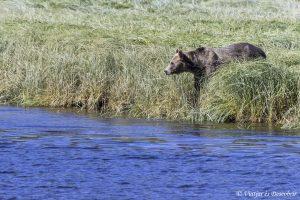 Oest de Canadà, juliol 2015 – Dia 14 i 15: Arribem a Telegraph Cove i sortim a veure óssos grizzly