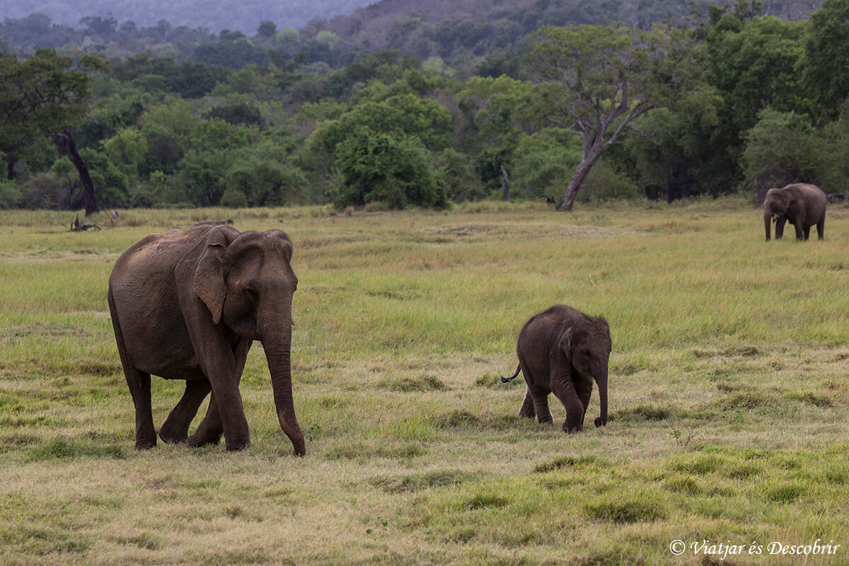 elefants al kaudulla national park