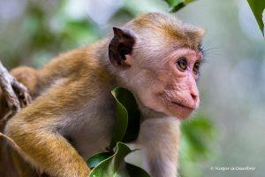 Safari al Wilpattu National Park: Tot el que has de saber