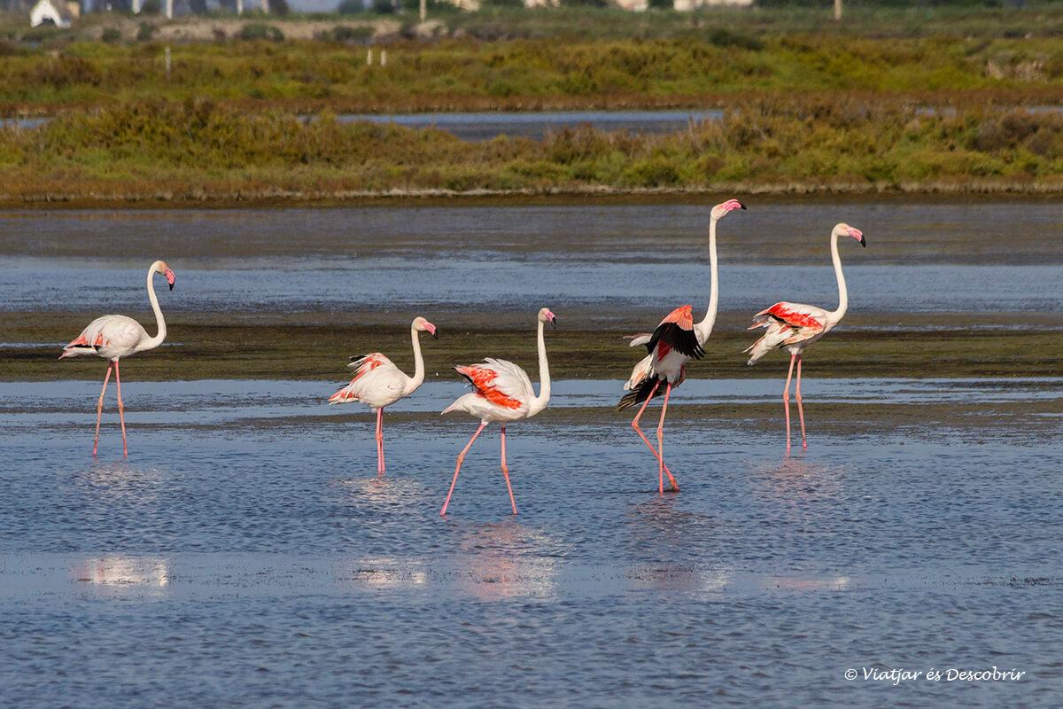 Els flamencs són els ocells més icònics del Parc Natural del Delta de l'Ebre