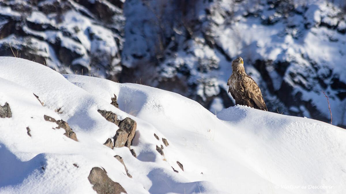 Àguila a les Illes Lofoten