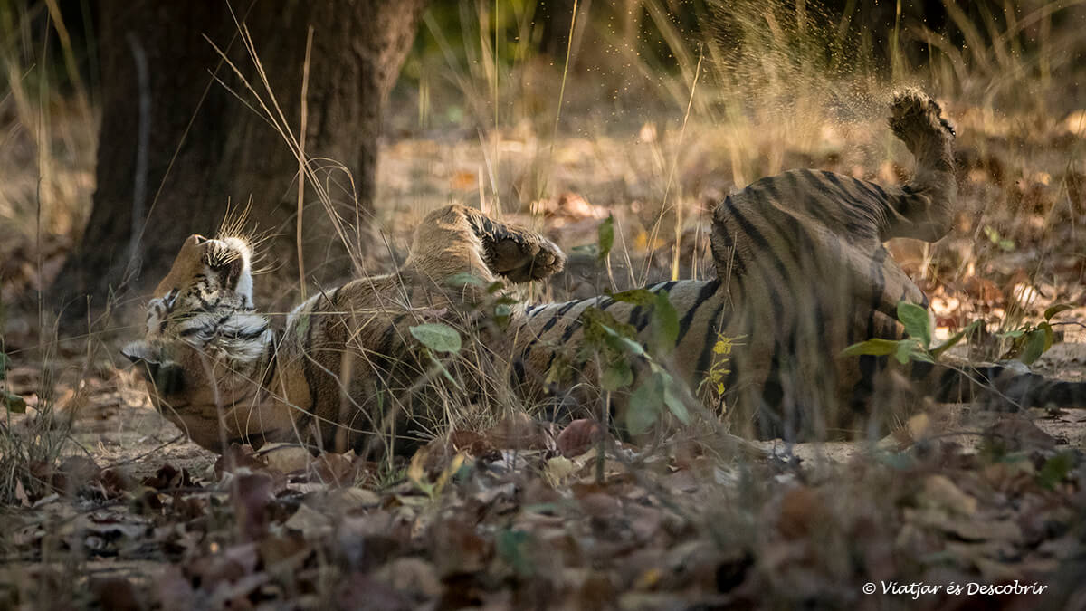 els primers tigres del safari a bandhavgarh a l'india