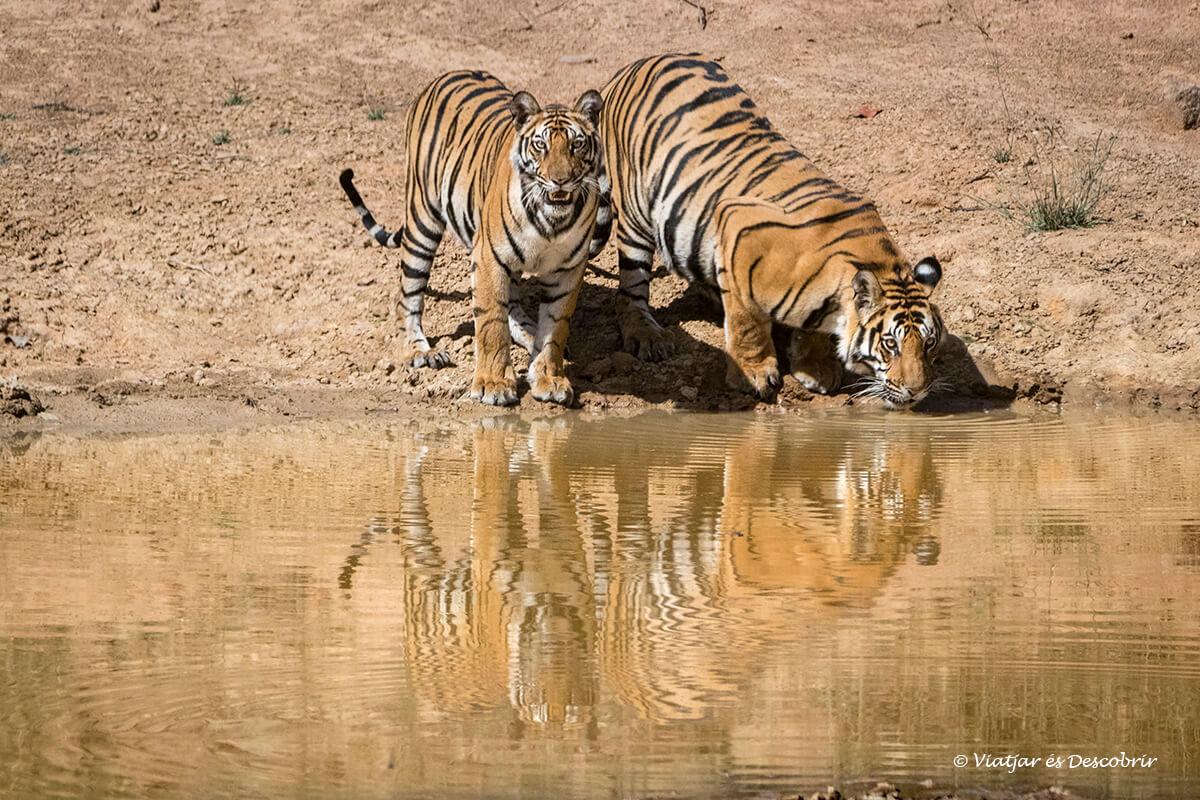 Viatge a l'Índia en 16 dies. Fotografiant el tigre de bengala