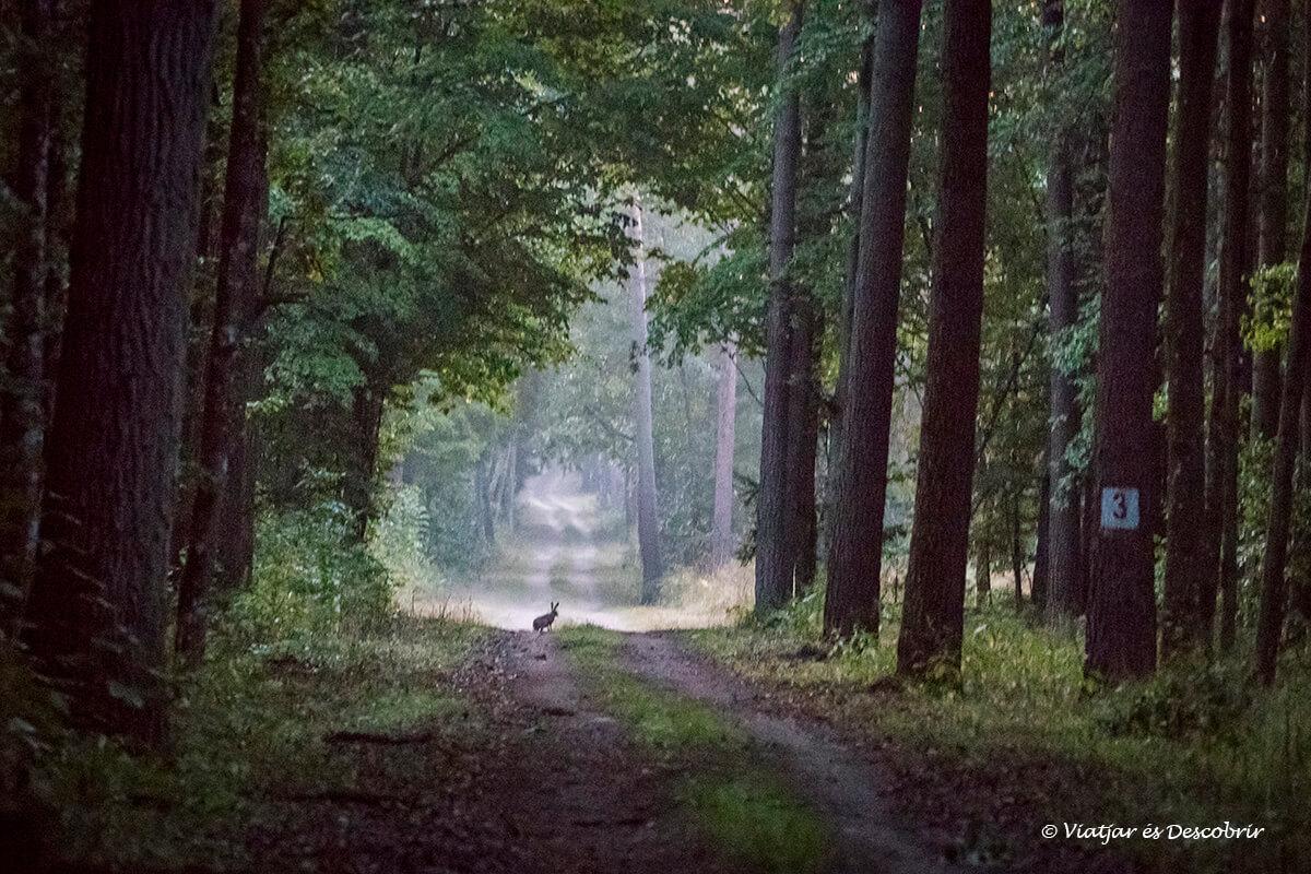 conill a bialowieza mati del viatge a polonia
