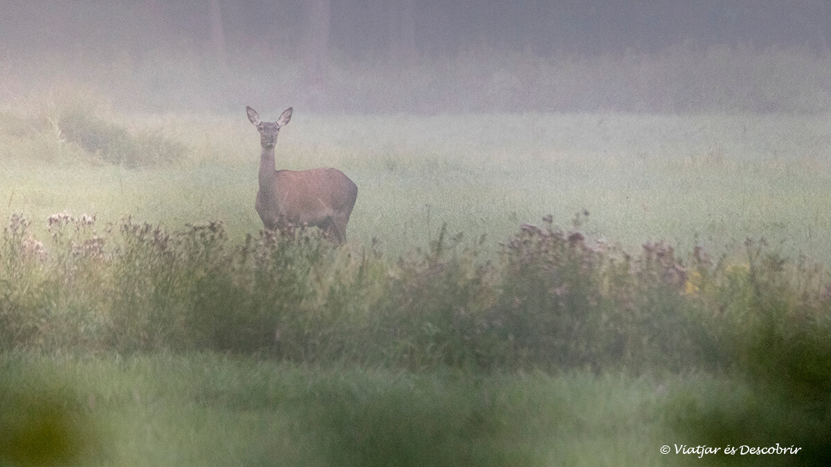 cervol durant el viatge a polonia