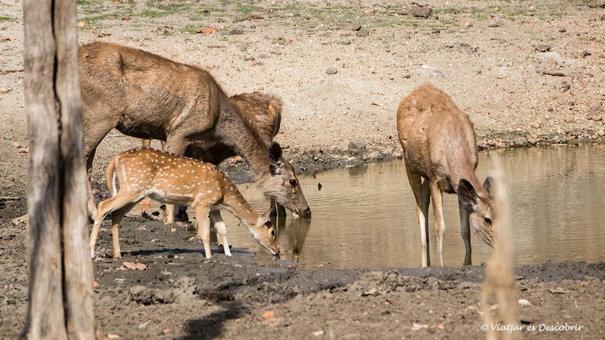 chitals i sambars bebent a una bassa del parc nacional pench