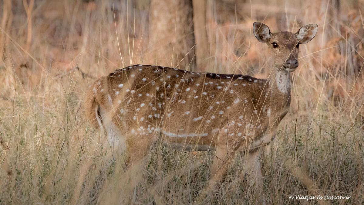 cervol vist durant el safari al parc nacional pench
