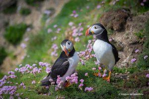 On veure frarets a Irlanda: Les Illes Saltee