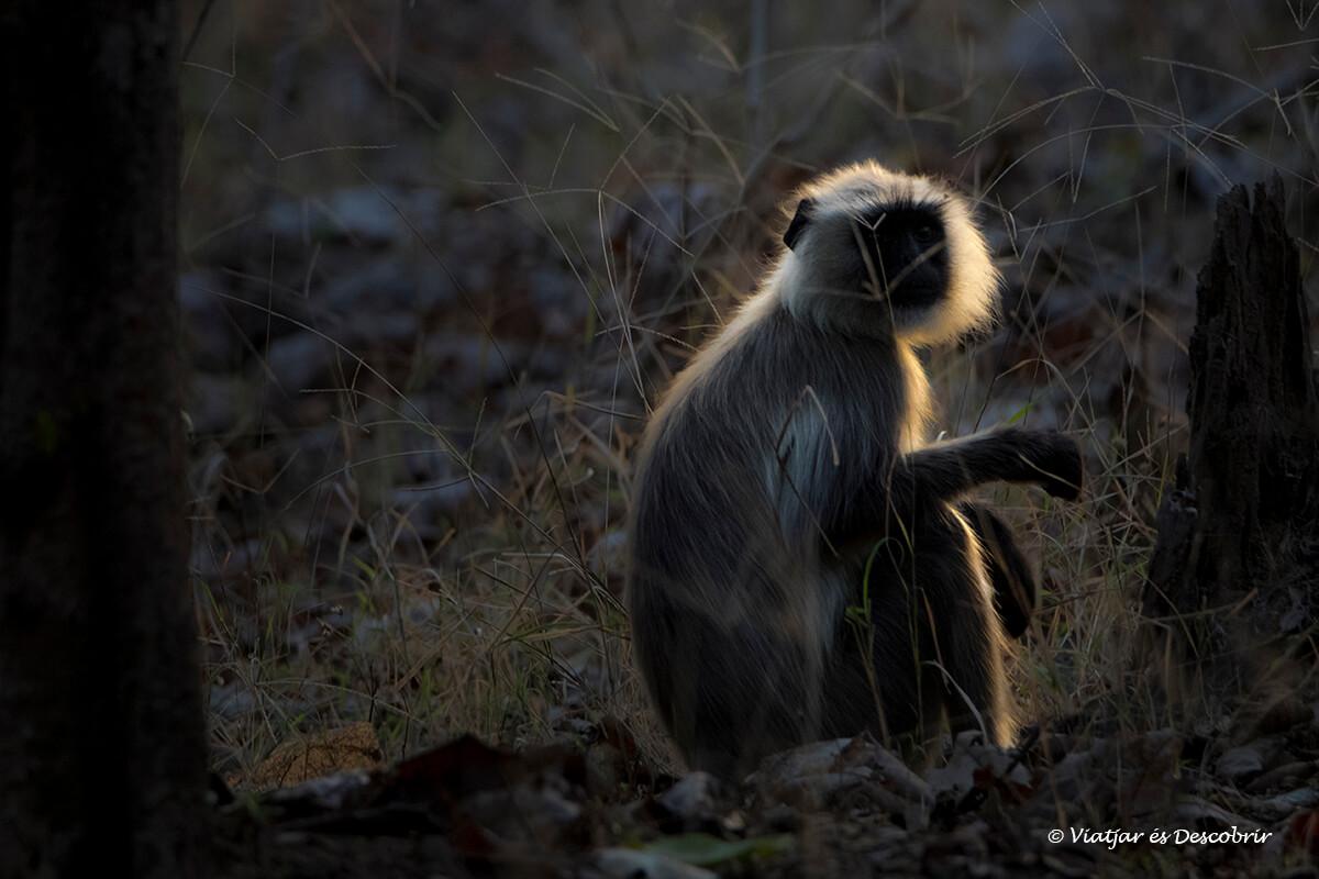 langur durant un safari al parc nacional pench
