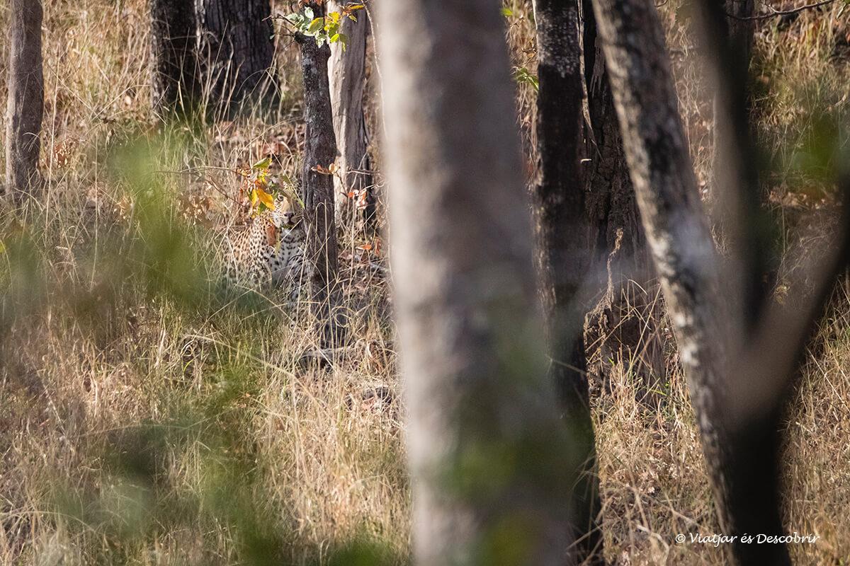lleopard camuflat