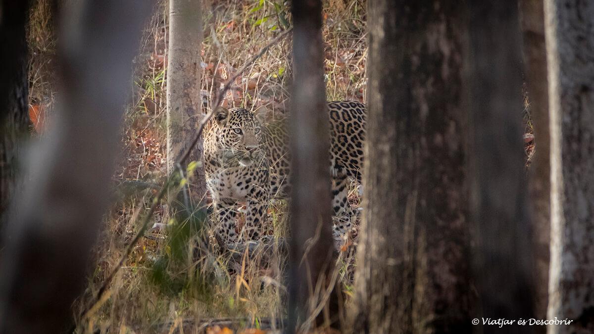 lleopard de l'Índia vist a pench