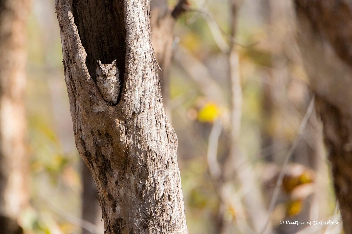 un mussol de l'Índia fotografiat al parc nacional pench