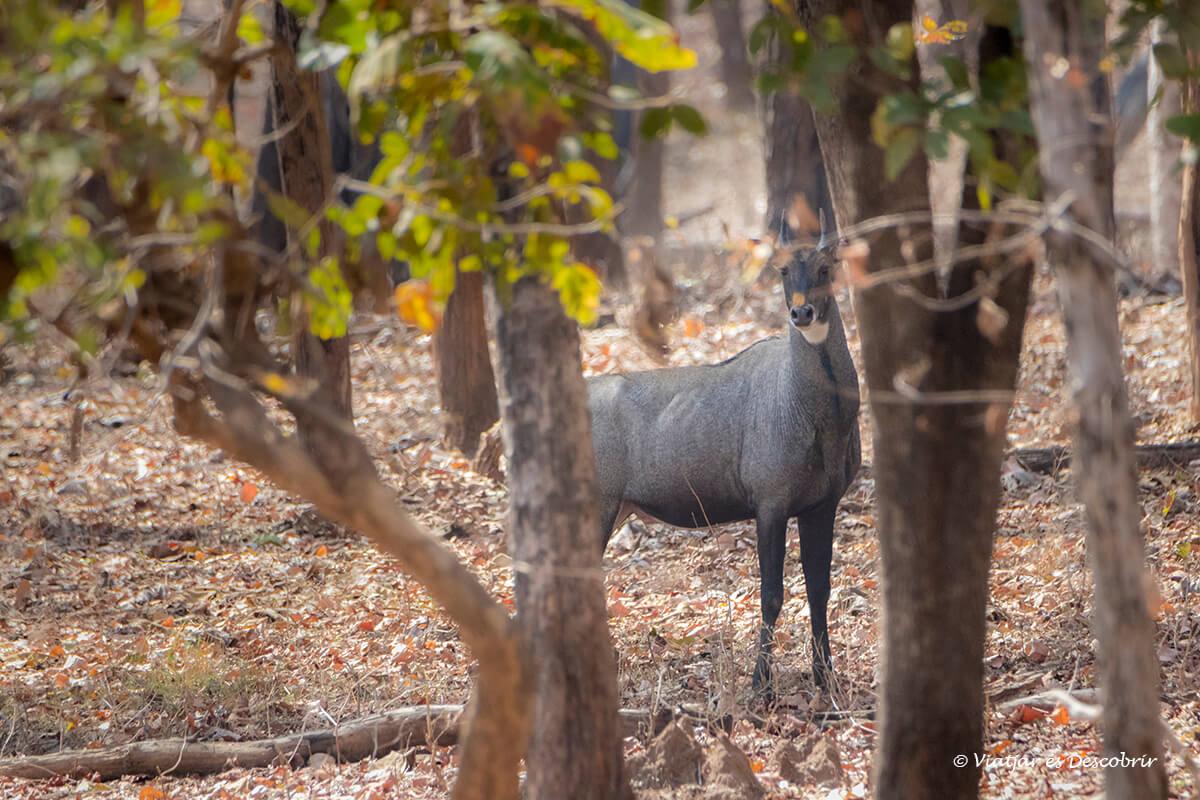 nilgai durant el safari al parc nacional pench