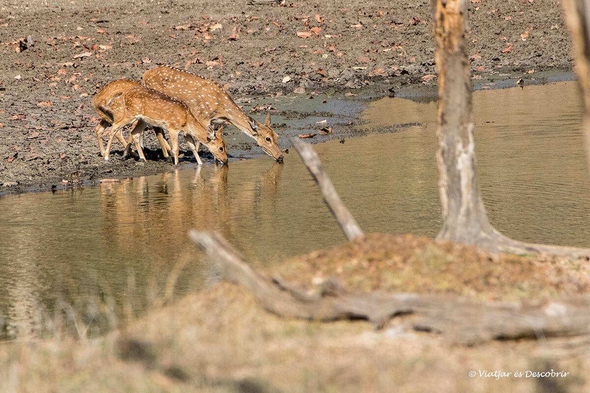 chitals bebent aigua durant l'estiu a pench