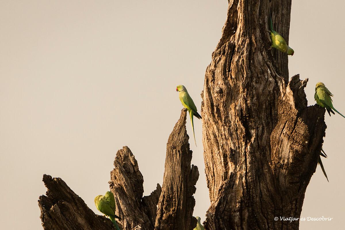 periquitos a un arbre