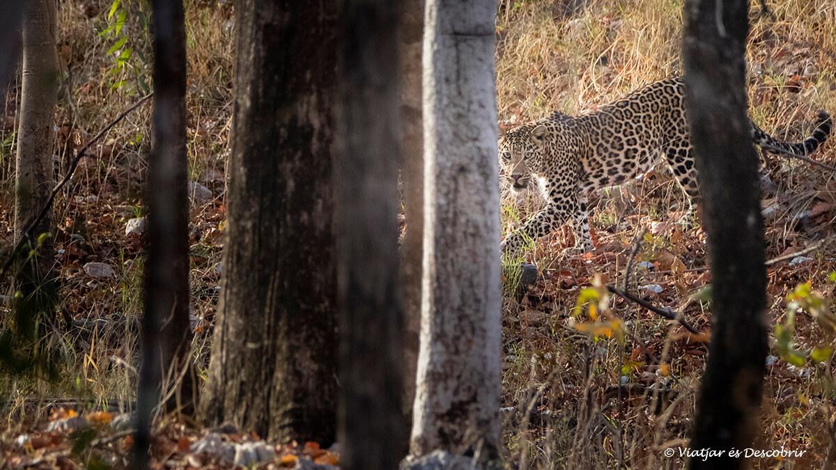 lleopard vist durant un safari a pench