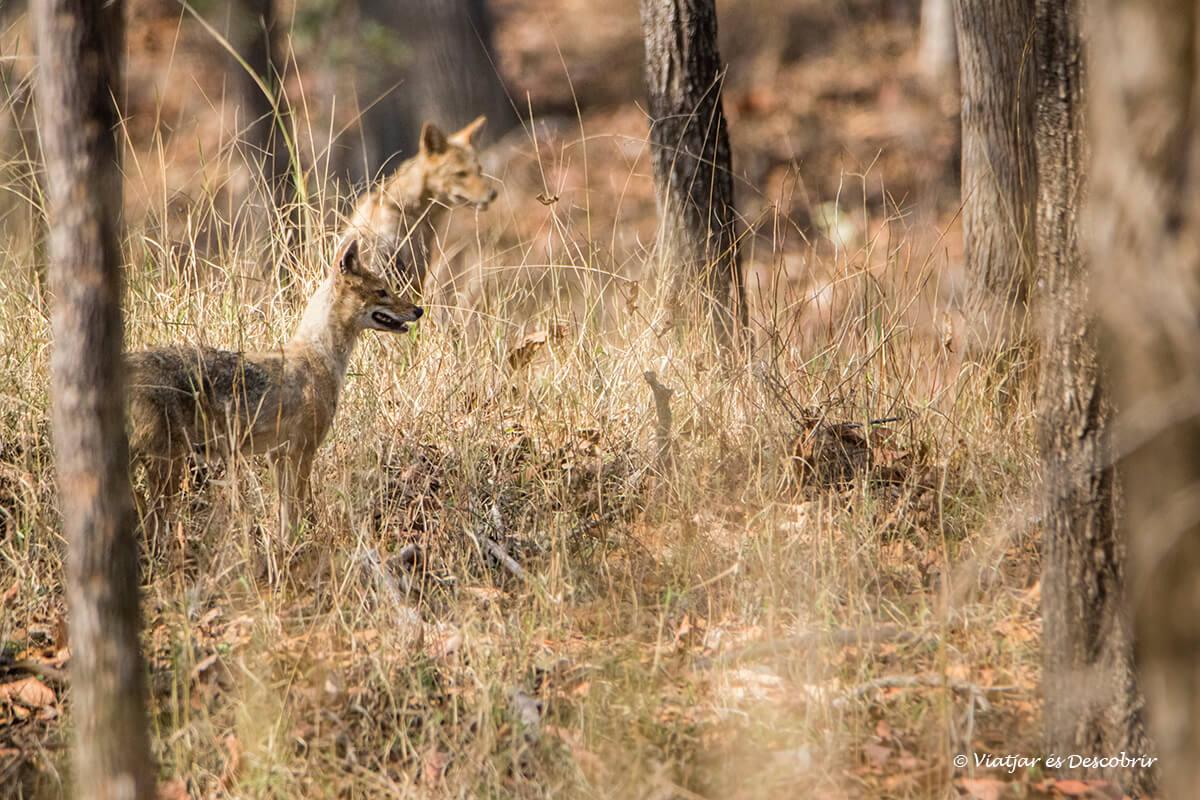 grup de xacals durant el safari a pench