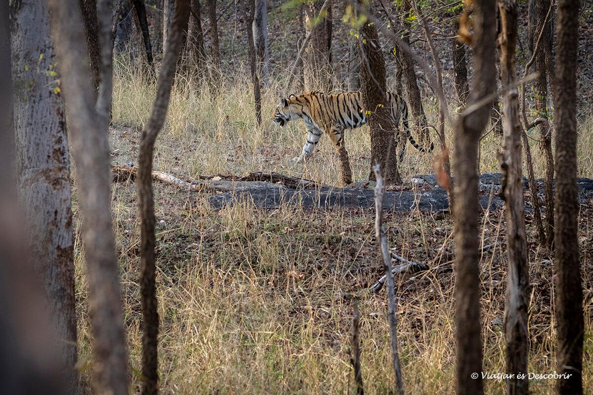 safari tigre de bengala al parc nacional pench