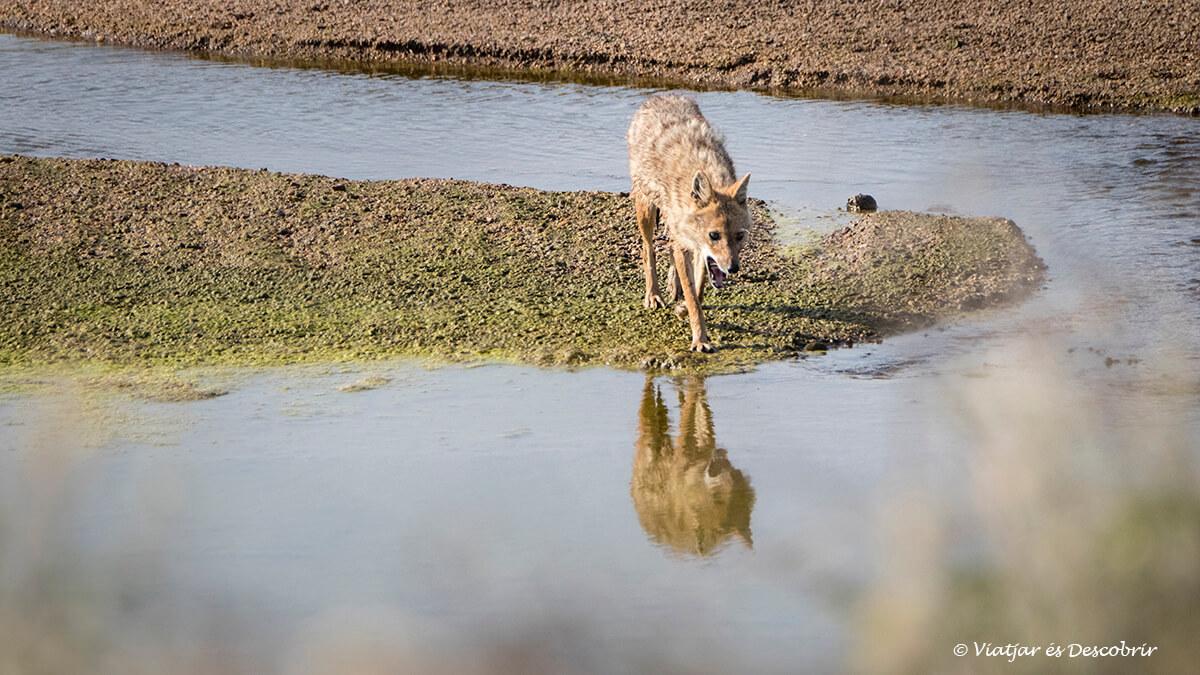 xacal vist durant el primer safari al parc nacional pench