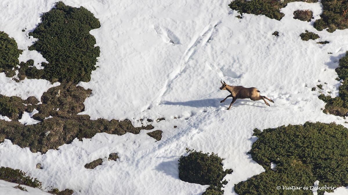 isard a la vall de nuria amb neu
