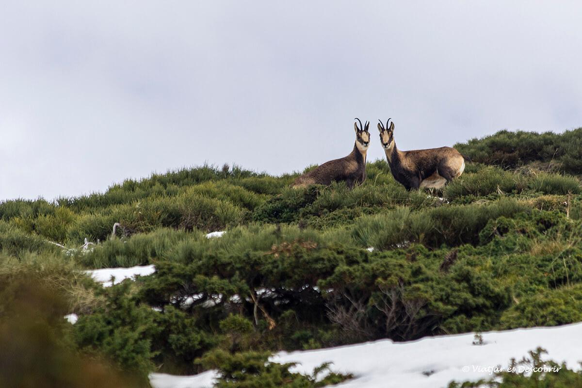 isards durant les excursions des de la vall de nuria