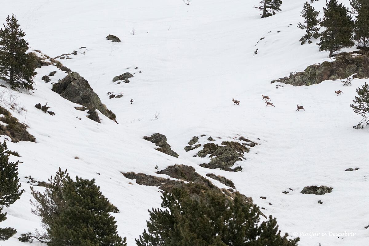 isards a la llunyania durant les excursions des de la vall de nuria