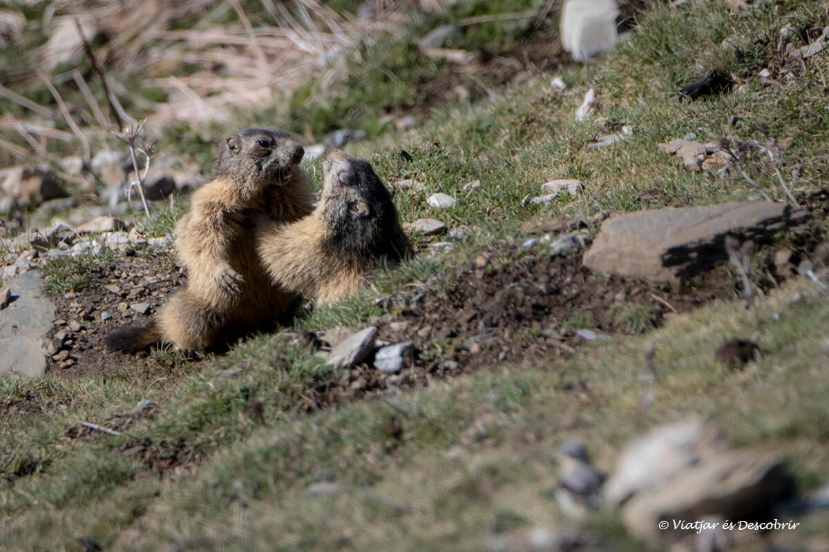 marmotes a la vall de nuria