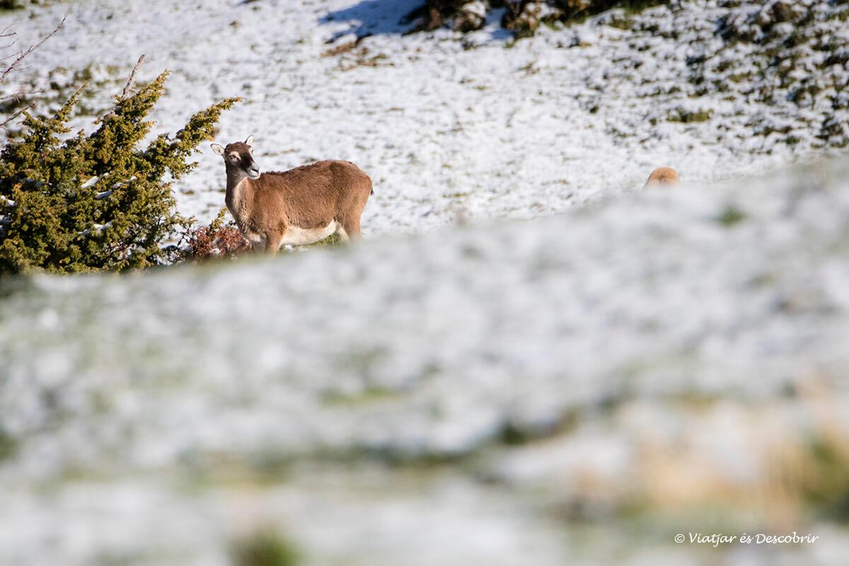 muflo a un paisatge nevat