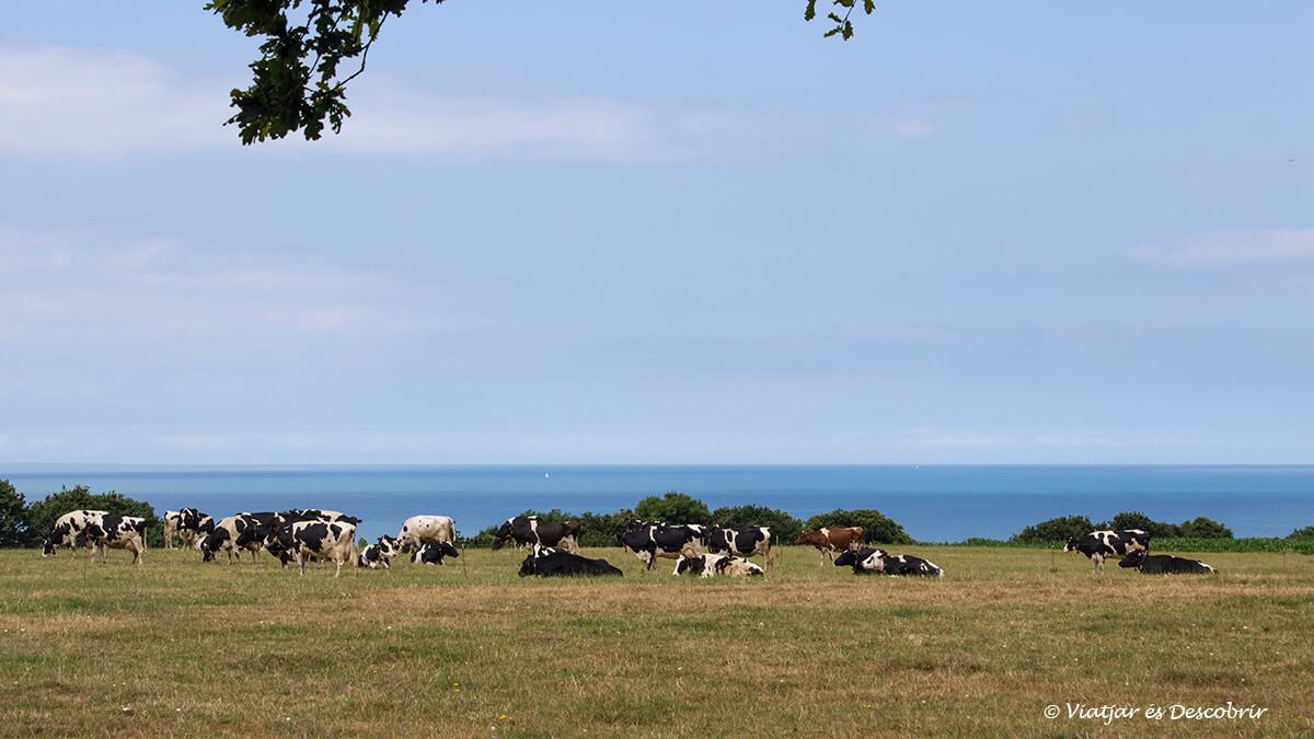 vaques i mar a la bretanya francesa