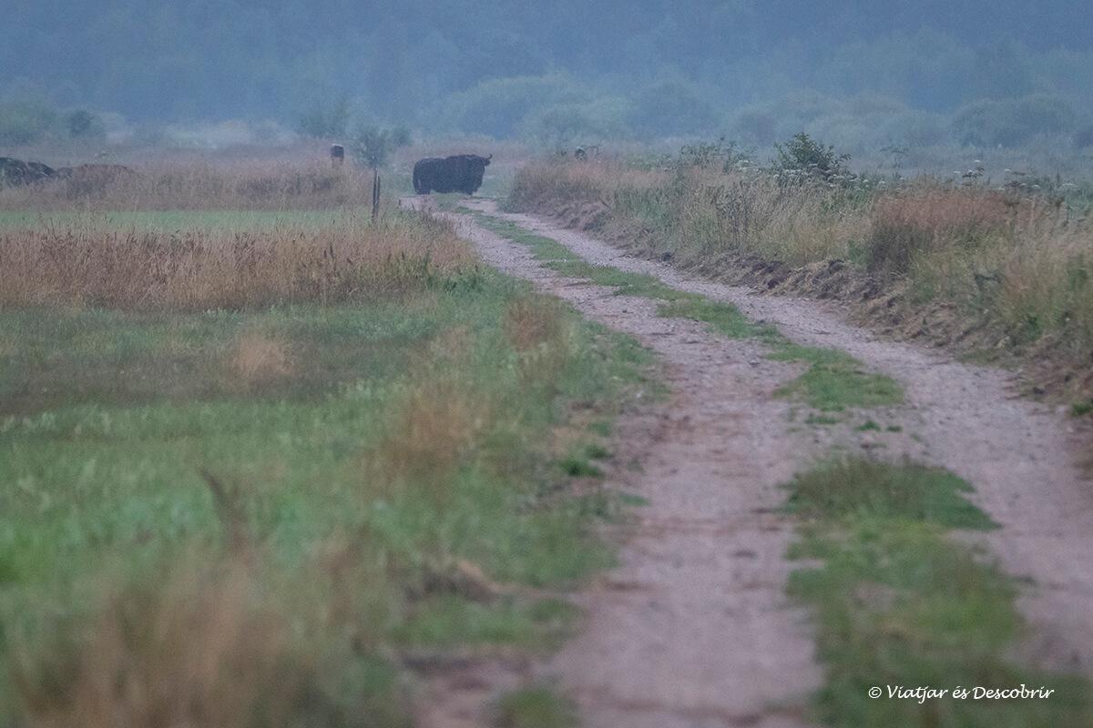 bisons europeus a la llunyania a un cami del parc nacional bialowieza