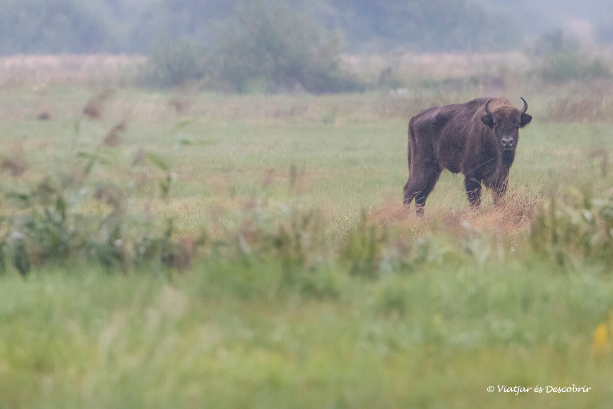 millors llocs on veure bisons europeus a bialowieza
