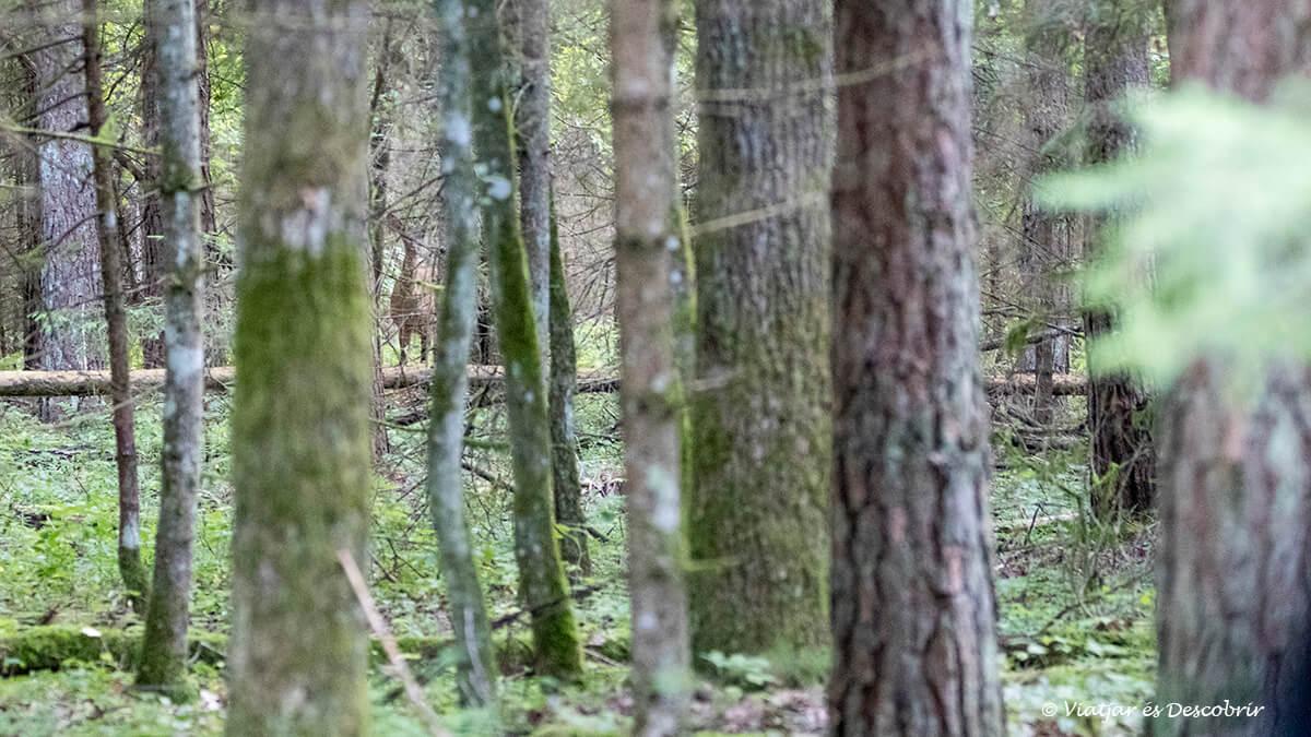 cervol camuflat entre els arbres a bialowieza