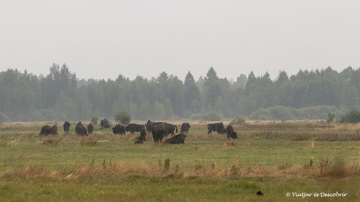 grup de bions europeus a la matinada a bialowieza