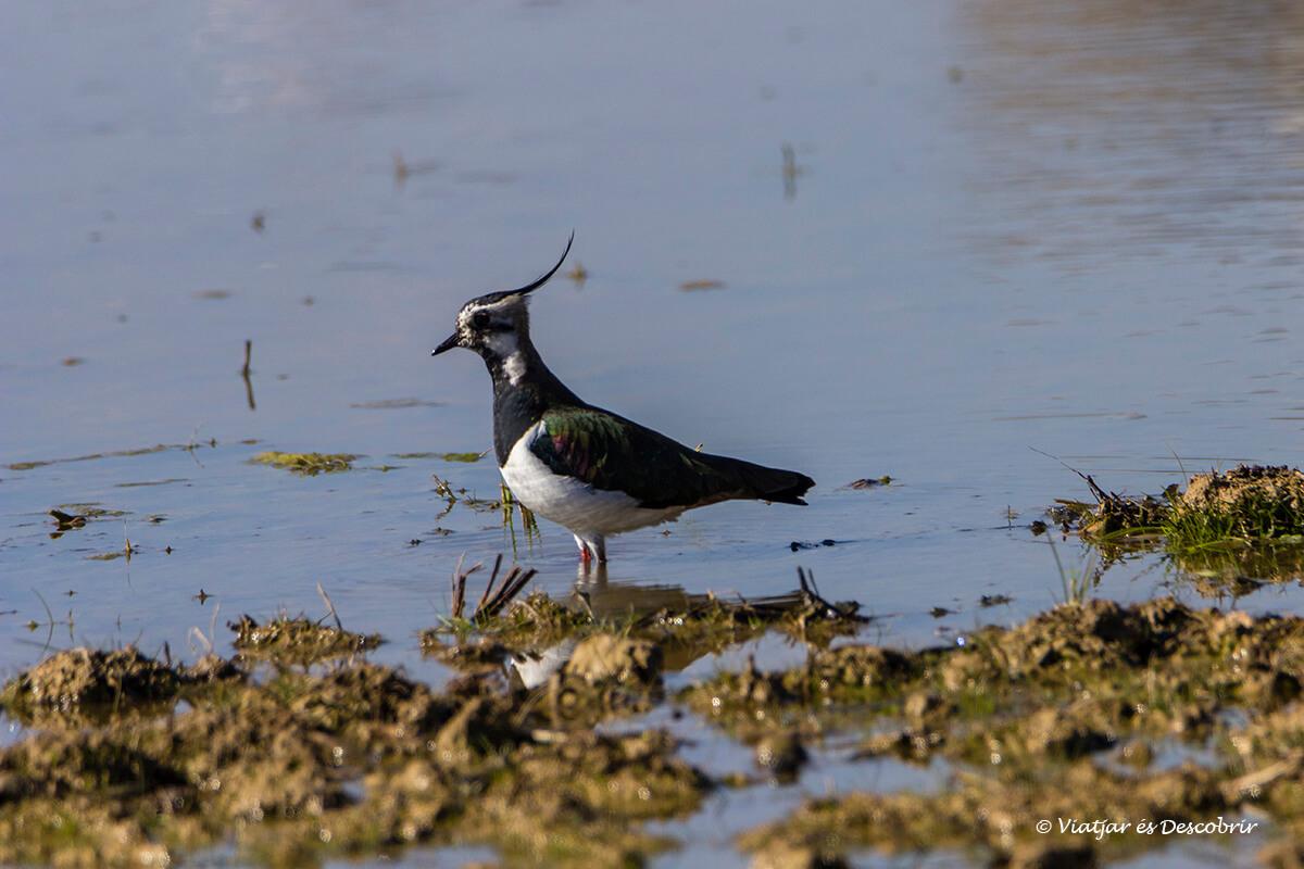 ocell als aiguamolls de l'empordà
