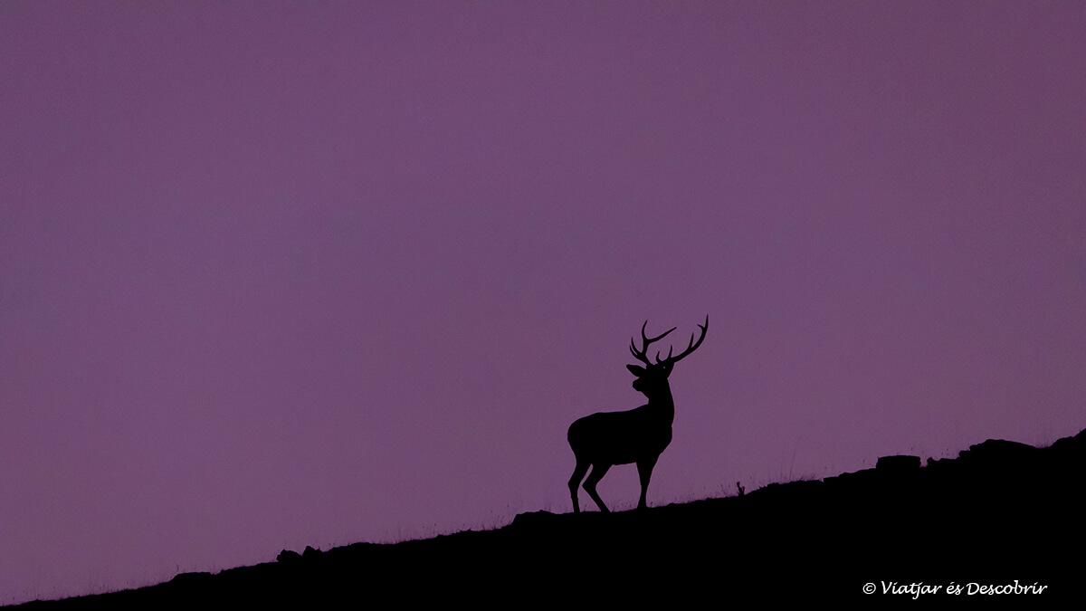 brama del cérvol a les muntanyes del cadí-moixeró
