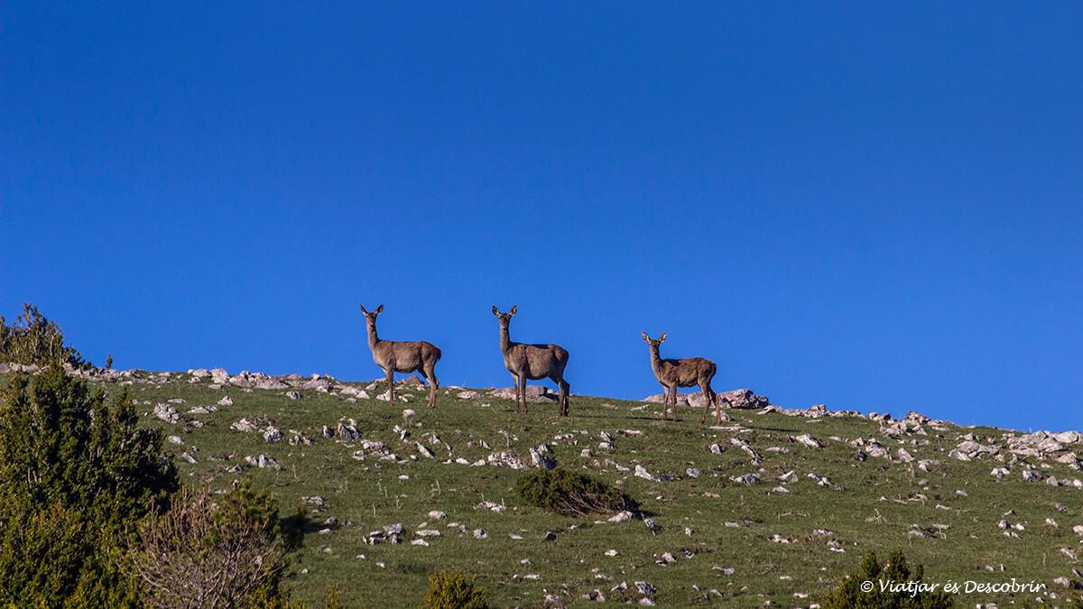 grup de femelles durant la brama del cérvol al pirineu