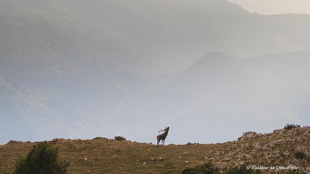 brama del cérvol envoltat de muntanyes del pirineu