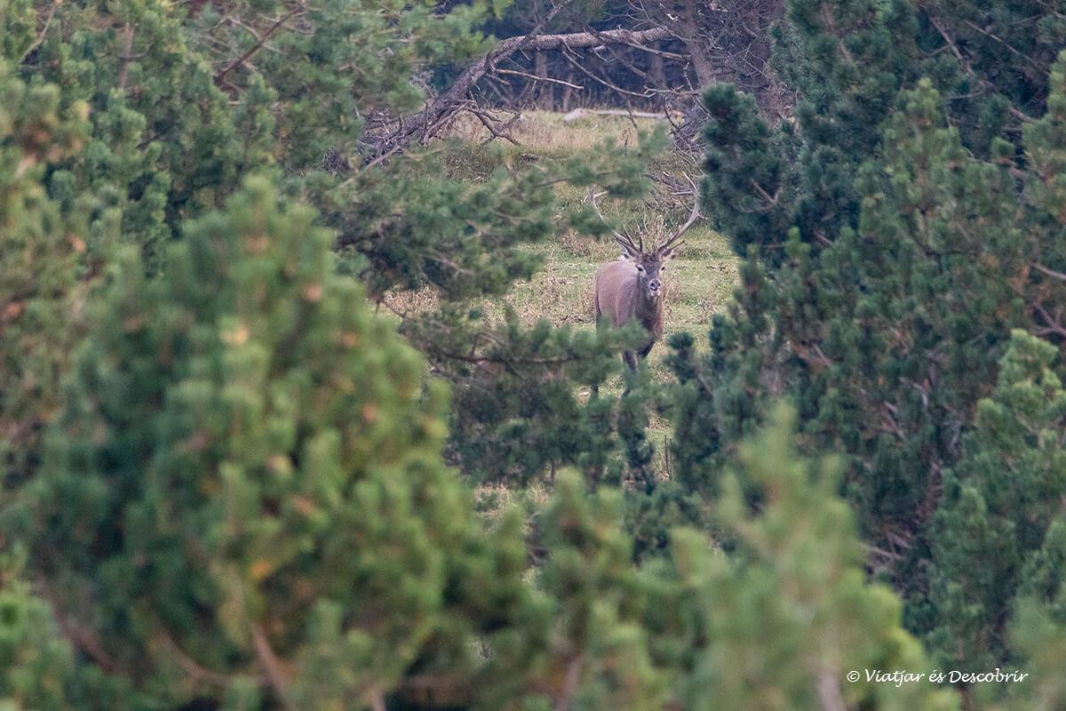 mascle de cérvol als boscos de Catalunya durant la brama