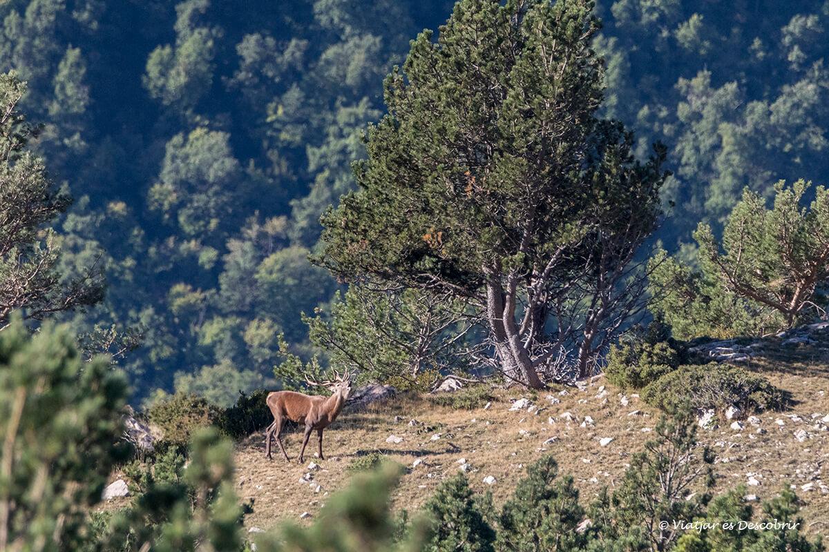 brama del cérvol a Catalunya a l'alt pirineu
