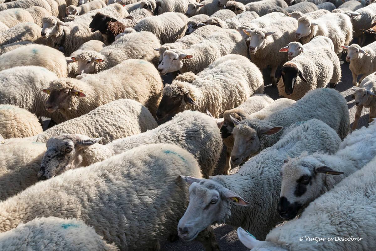 ovelles a les houches al principi del viatge a chamonix