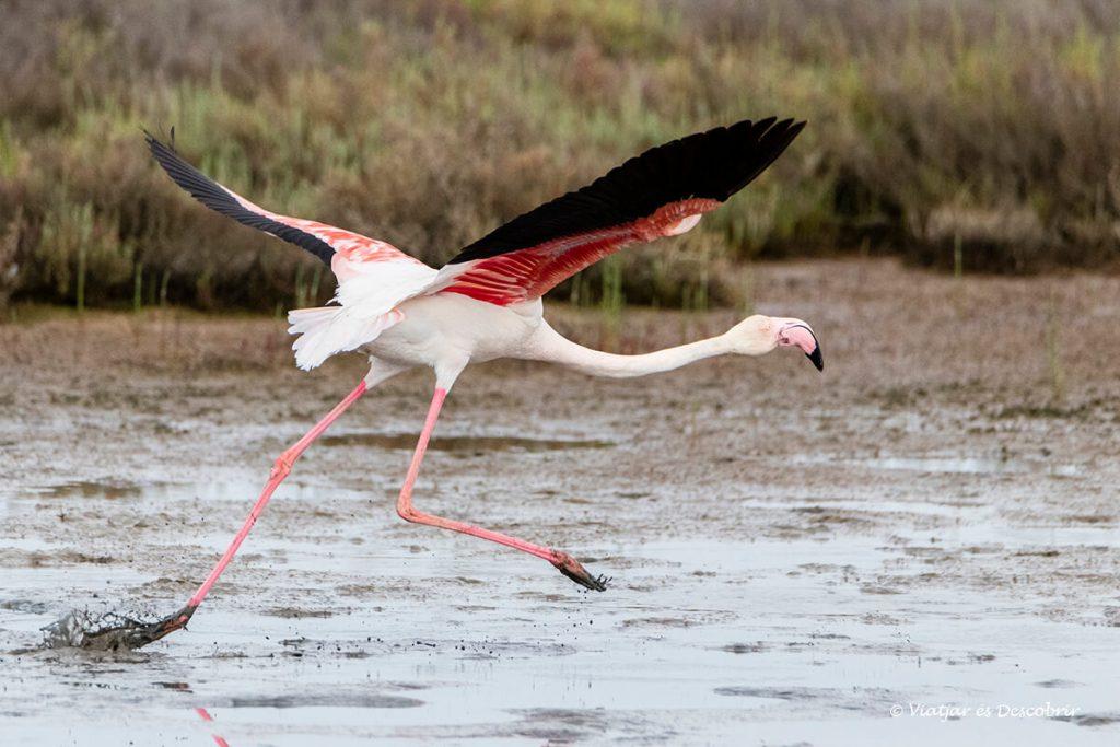 primer pla de d'un flamenc iniciant el vol al delta de l'ebre