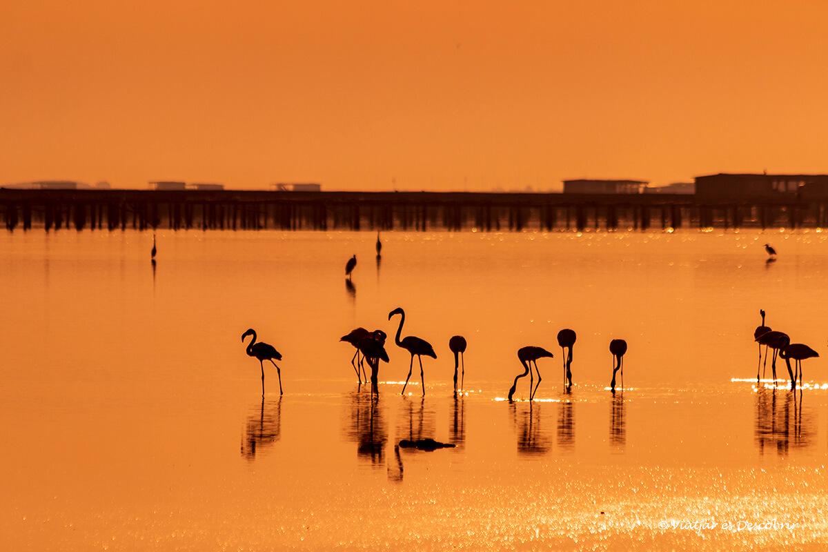 Flamencs al Delta de l'Ebre: Quan i On veure'ls