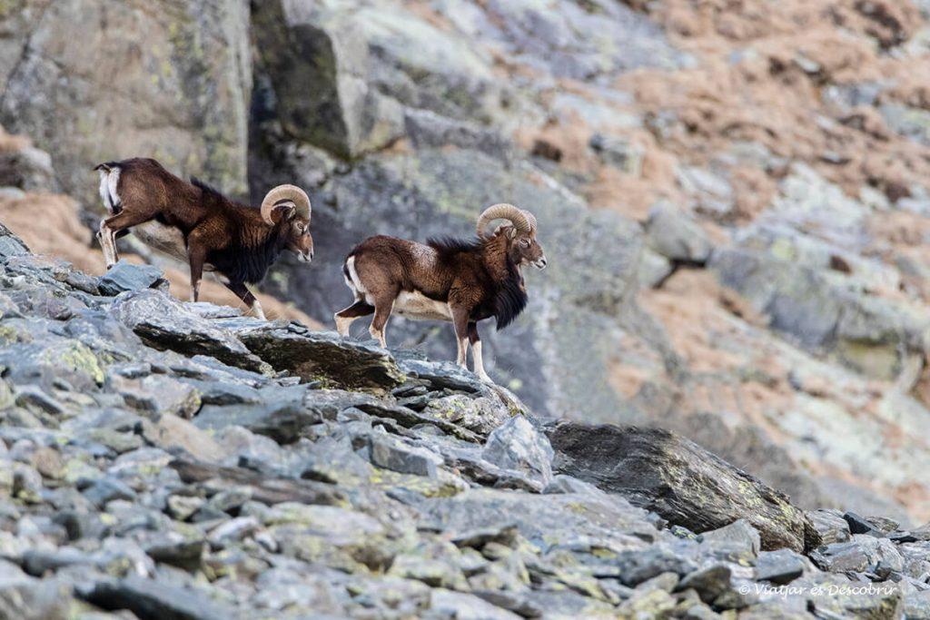 muflons a prop del refugi de coma de vaca als pirineus de girona