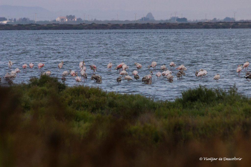 llacuna de la tancada amb flamencs al delta