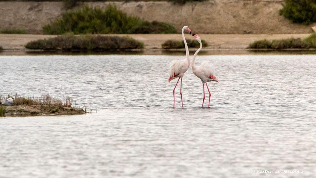 flamencs al delta de l'ebre a prop de la llacuna de la tancada