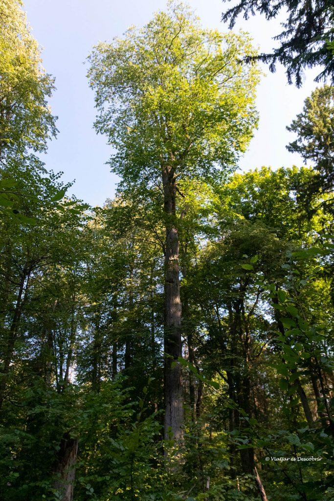 un dels arbres més alts del bosc primitiu