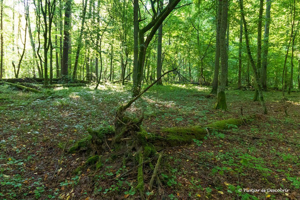 sotabosc molt verd dins el bosc del parc nacional de bialowieza