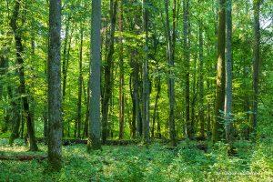 El bosc primitiu de Bialowieza: guia de la reserva estricta
